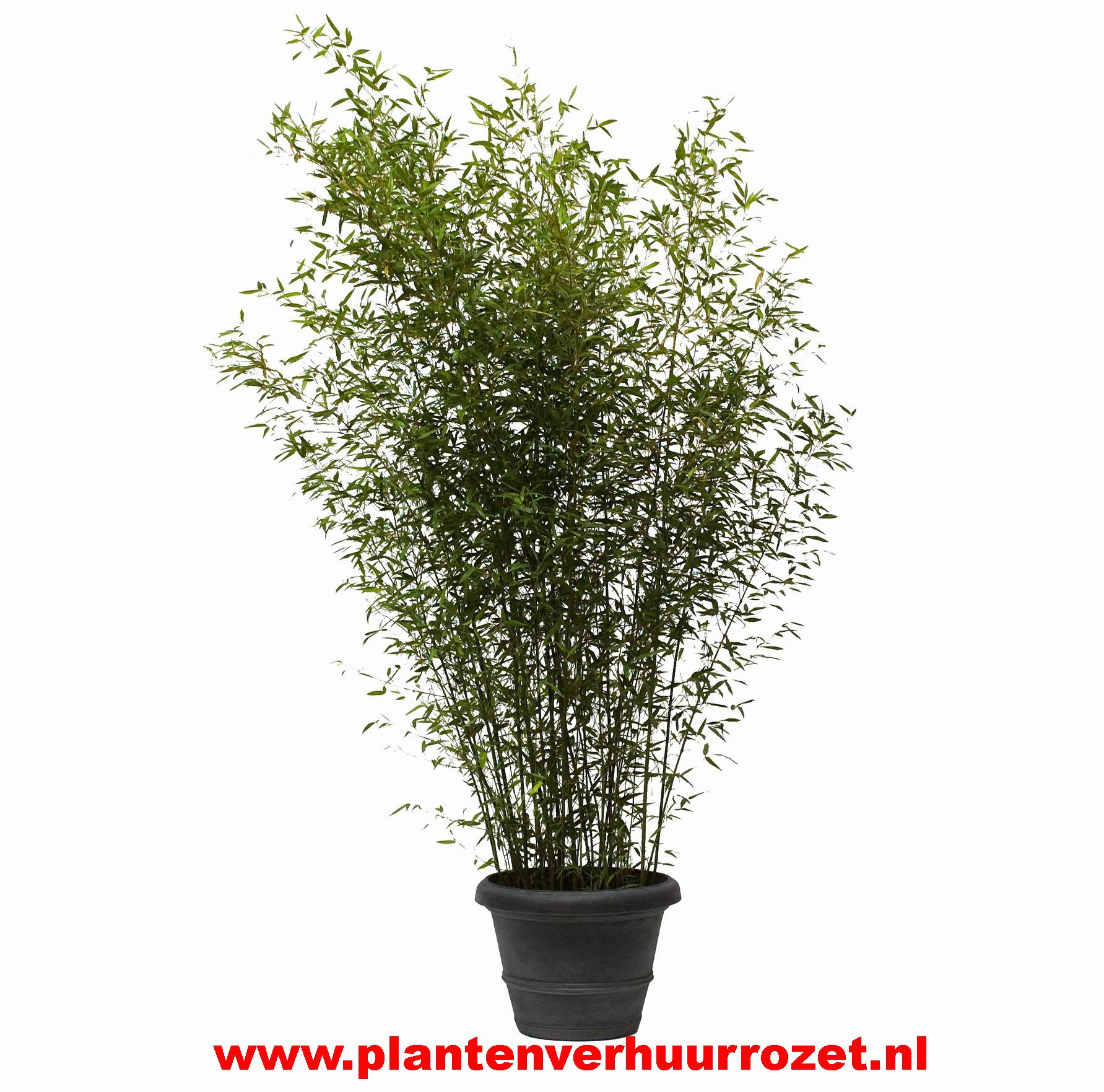 Bamboe planten   Plantenverhuur Rozet   Plantenverhuur Rozet