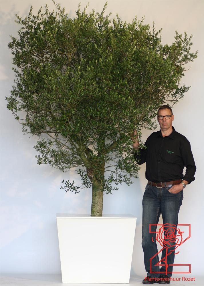 Olijfboom met logo met witte plantenbak afgedekt