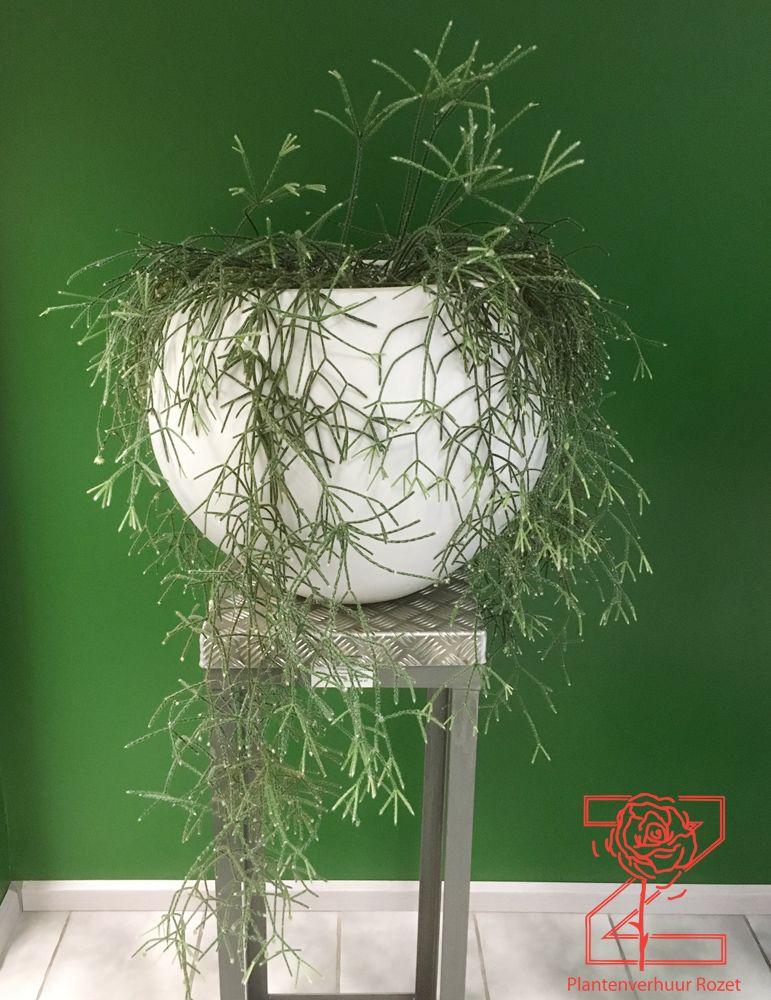 Ongekend Hangplant in witte pot op zuil - Plantenverhuur Rozet MC-56